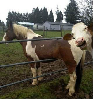 horse cow bombing photo